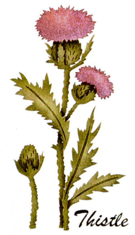 #345 Thistle Botanical