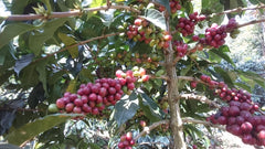 Java Frinsa Estate, Indonesia