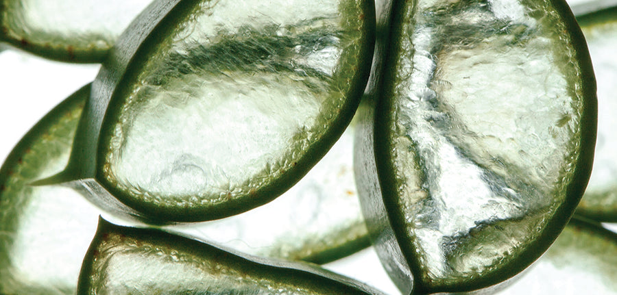 Ingredient Spotlight: Aloe