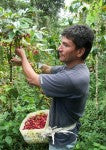 Picking red coffee cherries in Peru | Bean North Coffee Roasting Co. Ltd.