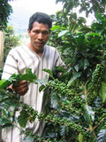 A Peruvian coffee tree with green cherries | Bean North Coffee Roasting Co. Ltd.