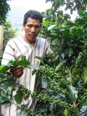 Showing green cherries on a Peruvian coffee tree | Bean North Coffee Roasting Co. Ltd.