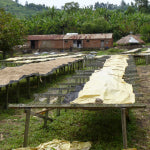 Drying cherries at Congolese producer group Sopacdi | Bean North Coffee Roasting Co. Ltd.