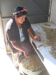 Sorting green beans at the Guatemala producer co-p APECAFORM | Bean North Coffee Roasting Co. Ltd.
