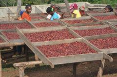 Drying cherries at Yirgacheffe Coffee Farmers Cooperatives Union | Bean North Coffee Roasting Co. Ltd.