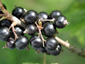 Juicy Blackcurrant