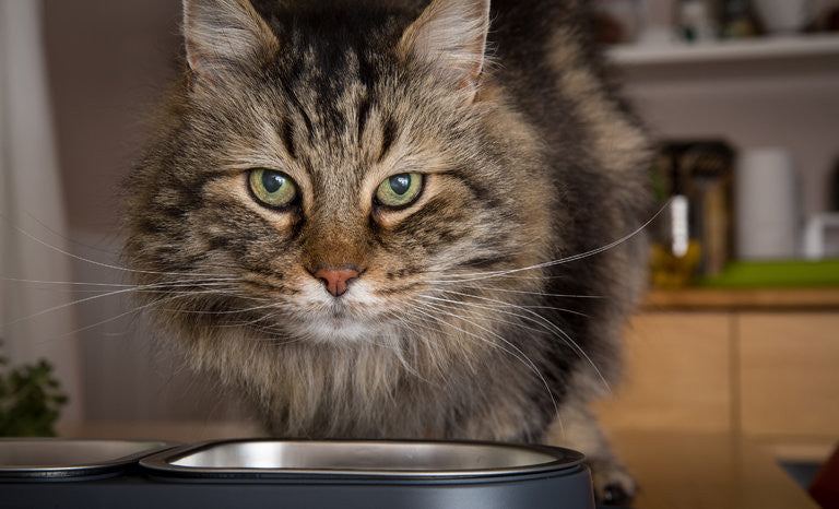 NEW YORK TIMES - Feline Food Issues? 'Whisker Fatigue' May Be to Blame