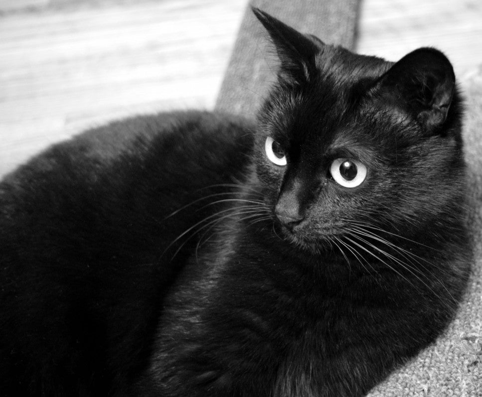 This Halloween, Hug a Black Cat for Luck