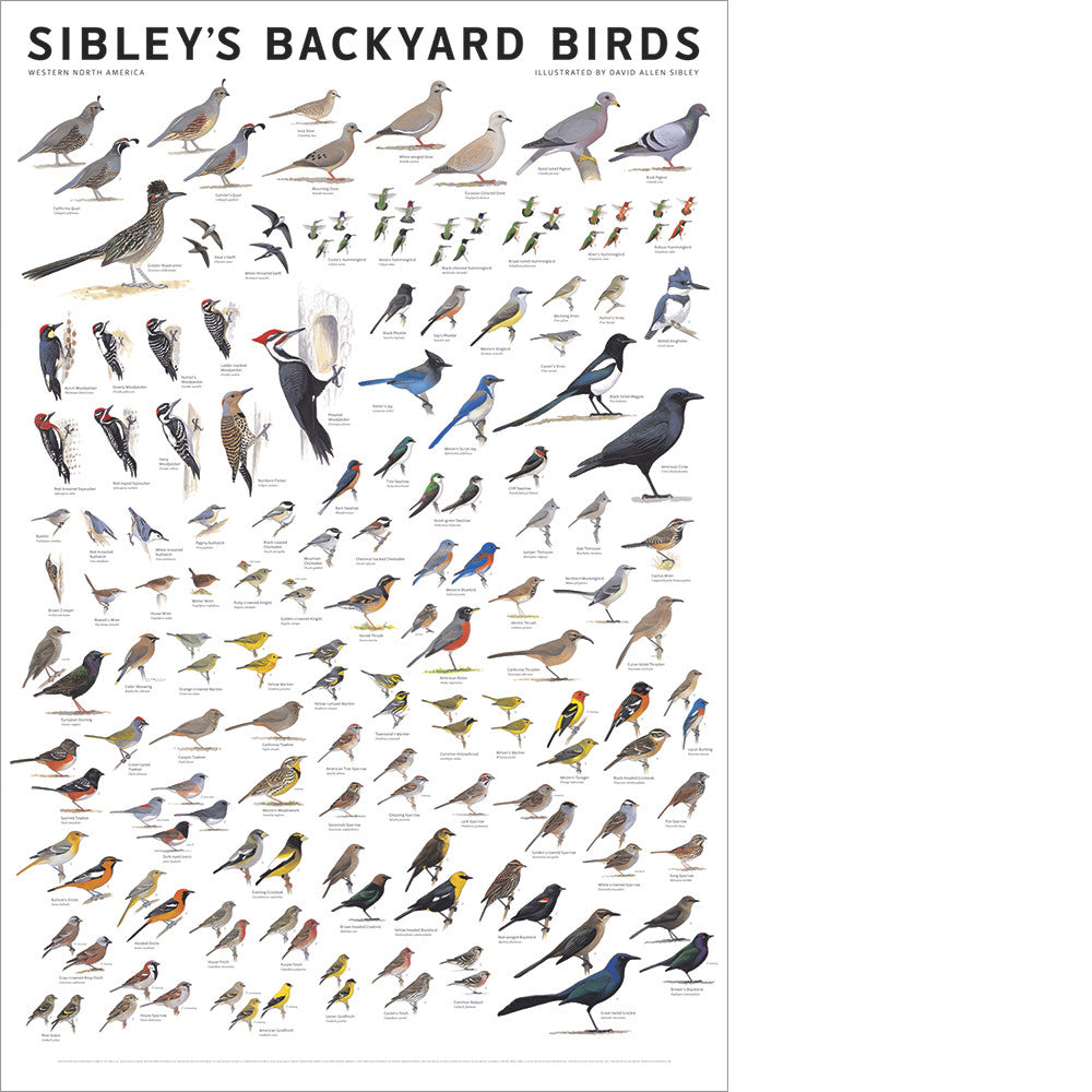 Sibley's Backyard Birds of Western North America Poster