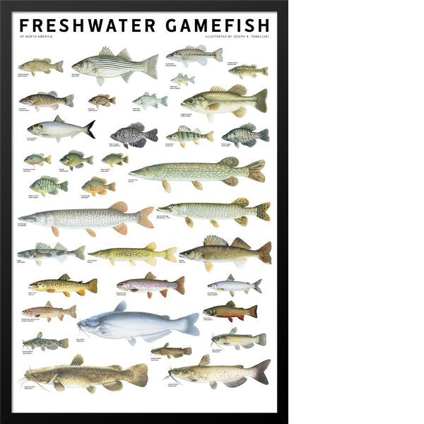 Freshwater gamefish of north america poster scott nix for Florida game and fish