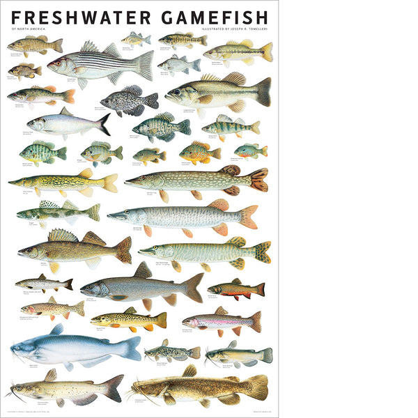 Freshwater gamefish of north america poster scott nix for Nc fish and game