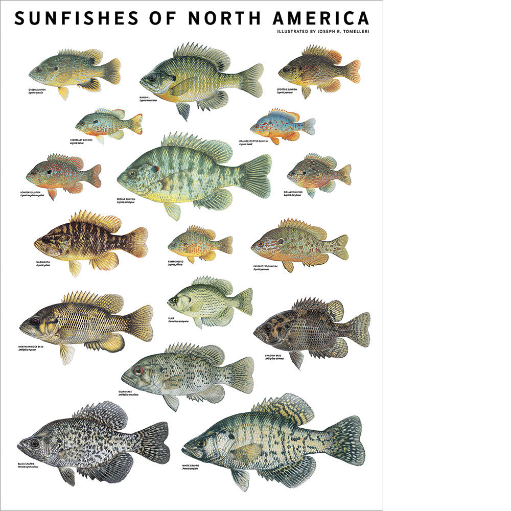 Sunfishes Of North America Poster Scott Nix