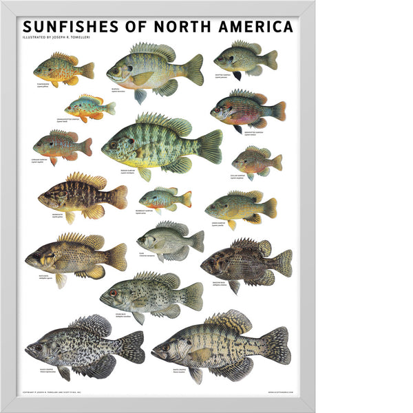 Sunfishes of north america poster scott nix for North american freshwater fish