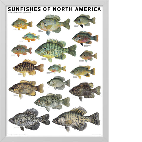 Sunfishes of North America Poster