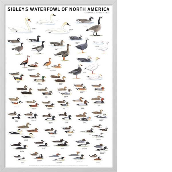 Sibley's Waterfowl of North America Poster – Scott & Nix