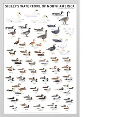 Sibley's Waterfowl of North America Poster