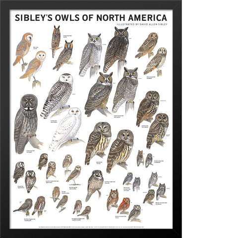 Sibley's Owls of North America Poster