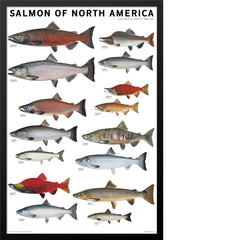 Salmon of North America Poster
