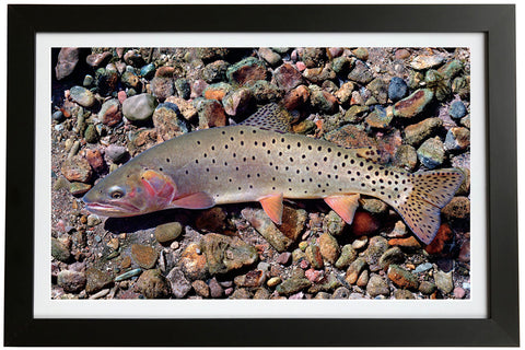 Bonneville Cutthroat Trout Giclée Print