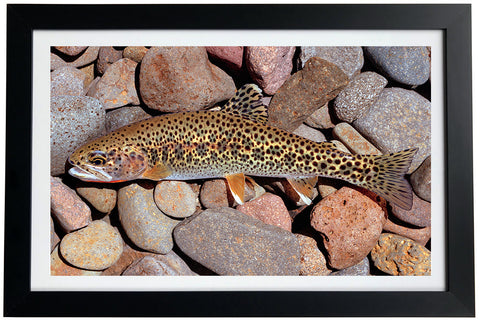 Coastal Cutthroat Trout Giclée Print