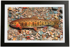 Colorado Cutthroat Trout Giclée Print