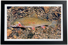 Greenback Cutthroat Trout Giclée Print