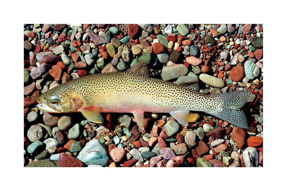 Westslope Cutthroat Trout Giclée Print