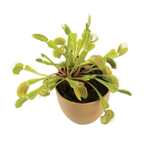 MRS GREEN PLANTS | Venus Fly Trap