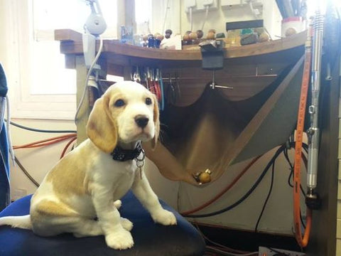 beagle on the jewellery bench