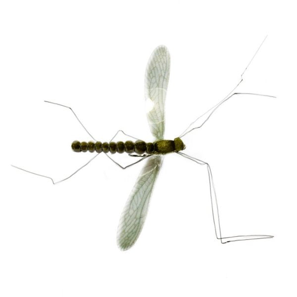 Mayfly Real