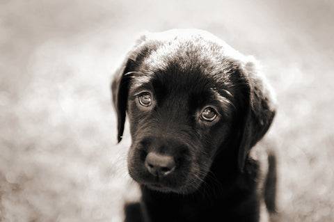 Puppy Eyes Labrador Print