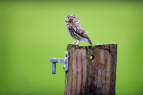 Little Owl On A Post Canvas
