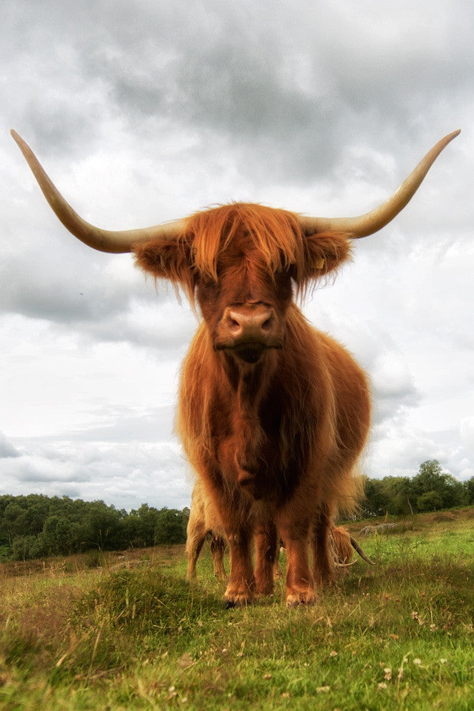 After You Madam Highland Cow Print