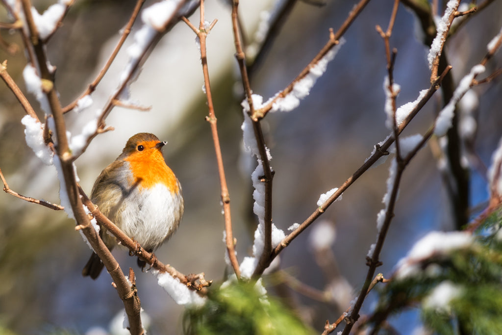 Bobbin and the Tiny Heart of Snow - Robin Canvas