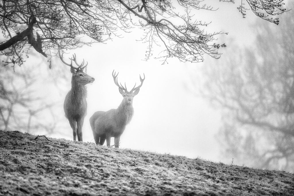 Brothers in the Mist - Stag Canvas