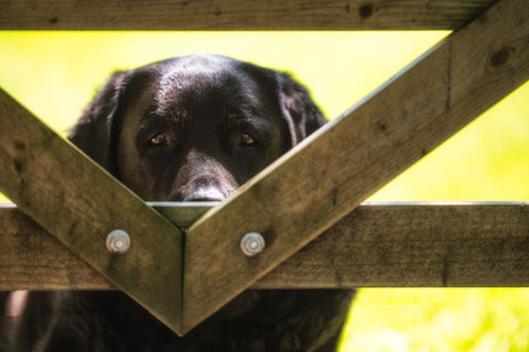 Can I Come in the Field Dad - Labrador Canvas