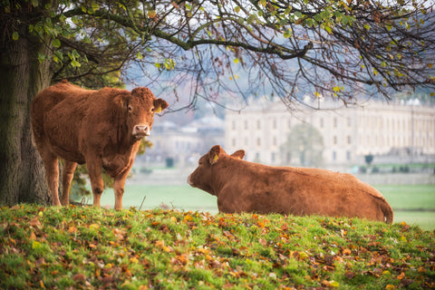 Chatsworth Limousin  - Cow Canvas