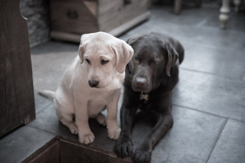 Coffee and Cream - Labradorable Canvas