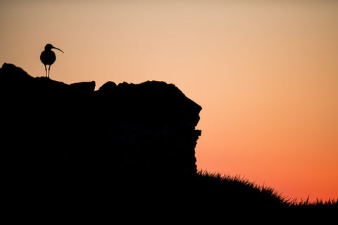 Curlew Sunrise Curlew Canvas
