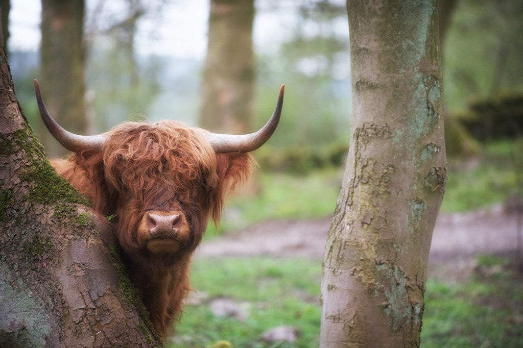 Daphne's Camouflage Abilities - Highland Cow Print