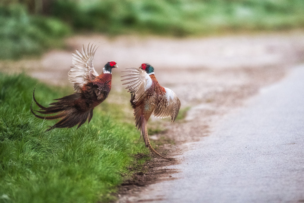 Fisticuffs at Dawn - Pheasant Canvas