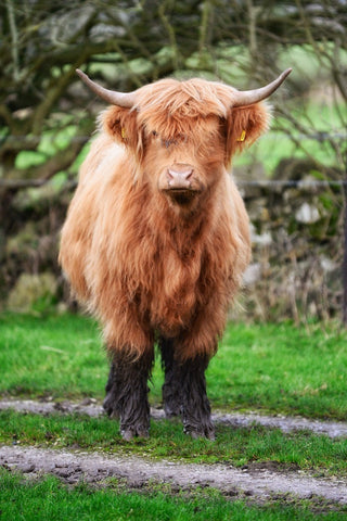 Gingerbread and Her Chocolate Wellies Highland Cow Print