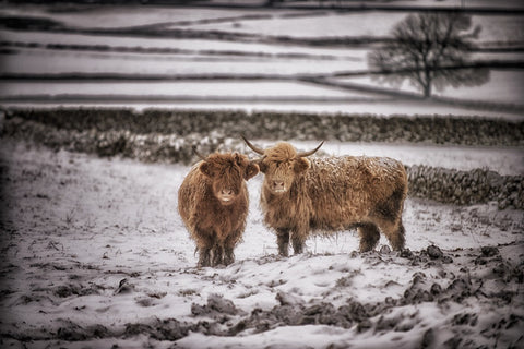 Gingerbread and Icing Highland Cow Print