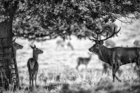 Hi Darling I'm Home - Stag Canvas