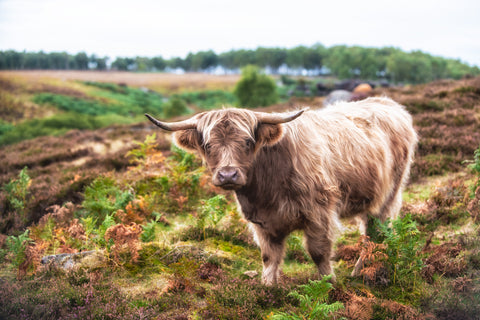 Highland Heather - Highland Cow Canvas
