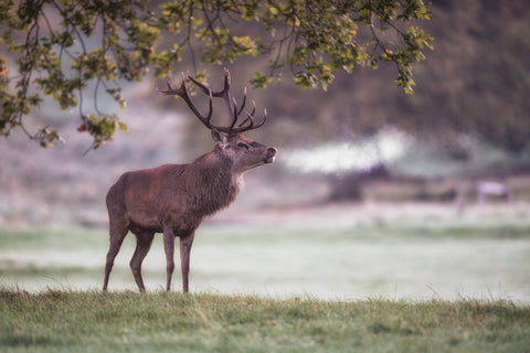His Majesty - Stag Canvas