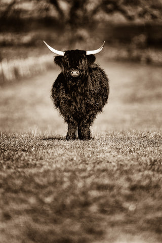 Little Moo SEPIA Highland Cow Print