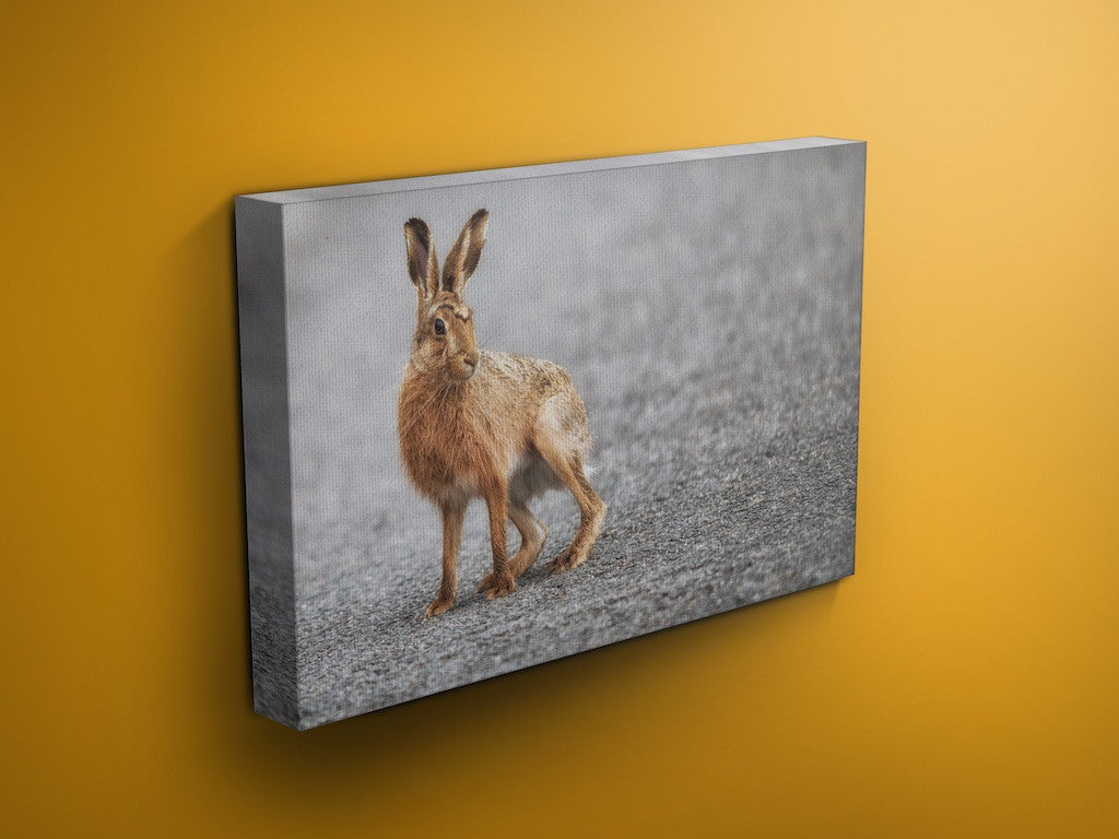 Longstone Larry - Hare Canvas