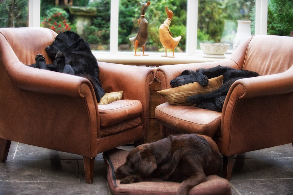 Let Sleeping Dogs...  Labrador Print