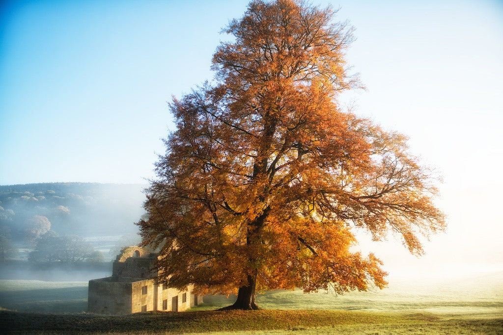 Tree of Bronze Chatsworth Landscape Print